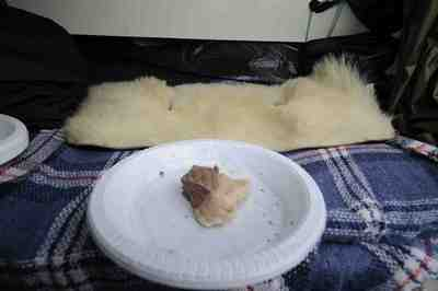 シロクマの毛皮と肉