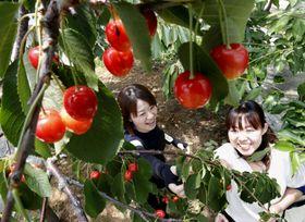 山形県鶴岡市の「佐久間利兵エ観光農園」でサクランボ狩りを楽しむ女性たち=25日