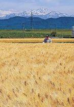 色づいたオオムギの手入れに励む農家=川北町田子島