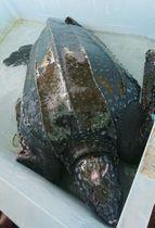 高知県黒潮町沖で見つかったオサガメ=24日(むろと廃校水族館提供)