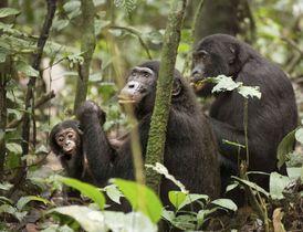 群れでの順位が1位のボノボの雌(中央)に寄り添う雄の1位の息子(右)=2014年8月、コンゴ(古市剛史教授提供)