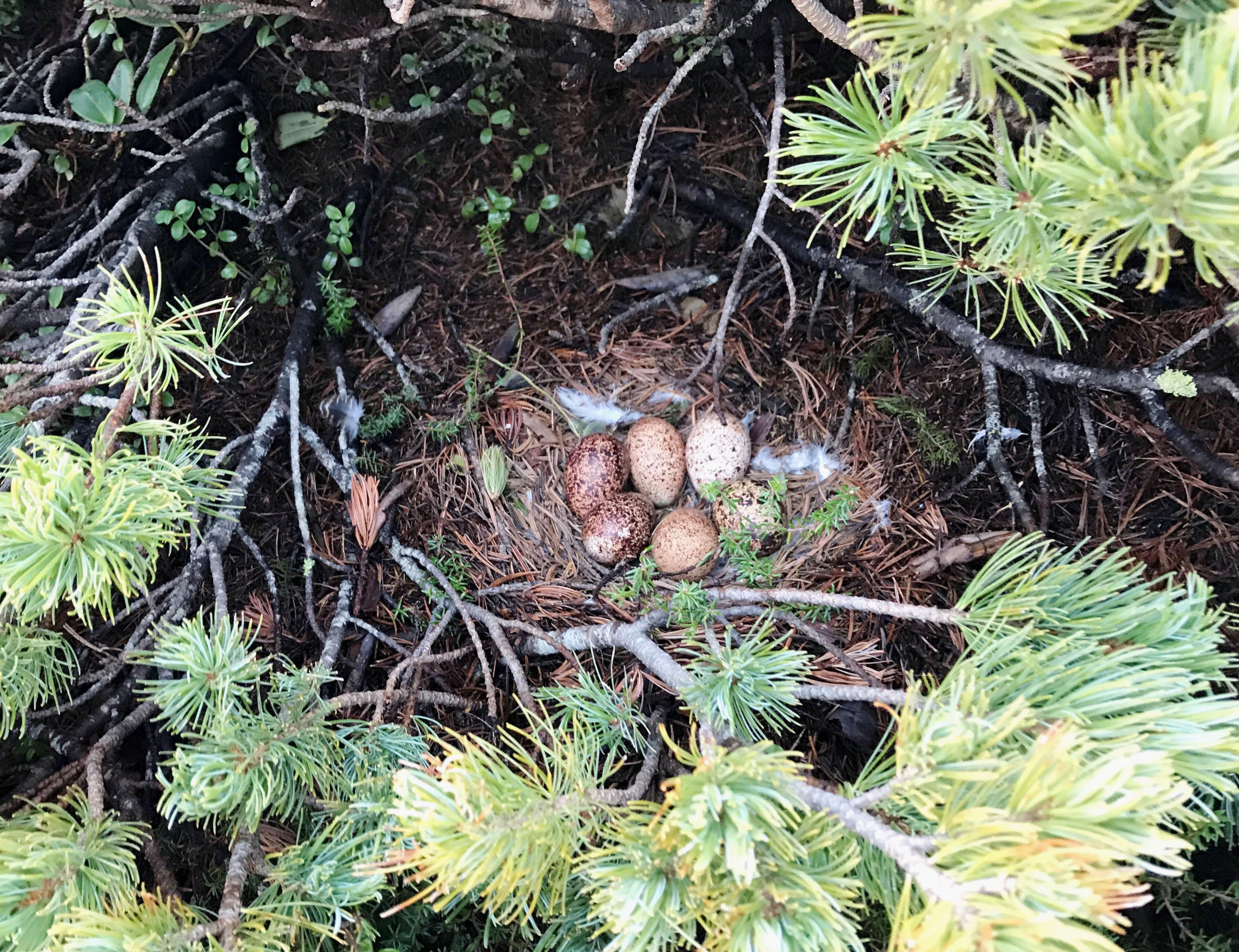 「中央アルプス雷鳥」の画像検索結果