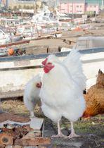 鹿児島市漁協近くの岸壁周辺にすみ着いている鶏=同市城南町