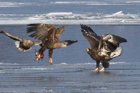 大部分が結氷した小川原湖で獲物を奪い合うオジロワシのつがい(左の2羽)とオオワシの幼鳥=17日、東北町舟ケ沢付近