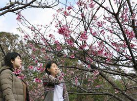 鹿児島県・奄美大島の龍郷町で開花宣言されたヒカンザクラ=24日