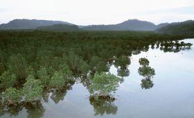 マングローブ林=沖縄県・西表島