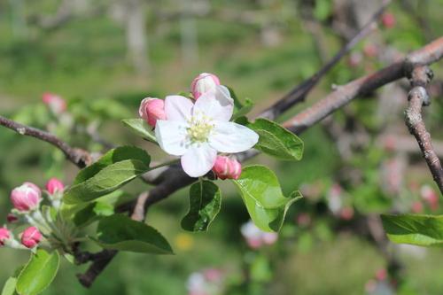 咲き始めたリンゴの花=写真提供・大柴由紀さん