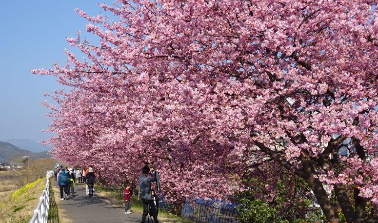 満開となった河津桜。視界が花で埋め尽くされるような迫力だ(3月4日、提供写真)