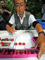 ジュノハートの中から選び出されて箱詰めされた青森ハートビート=27日午前、三戸町梅内