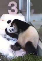 3歳の誕生日の祝いとして人工雪を贈られたジャイアントパンダ「結浜」=19日午前、和歌山県白浜町の「アドベンチャーワールド」