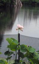 住民たちが復活に取り組み、開花を迎えたハス「淀姫」=京都市伏見区・淀城跡公園