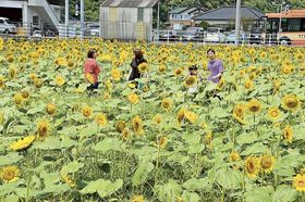大輪の花が見頃を迎えているヒマワリ畑=南伊豆町湊