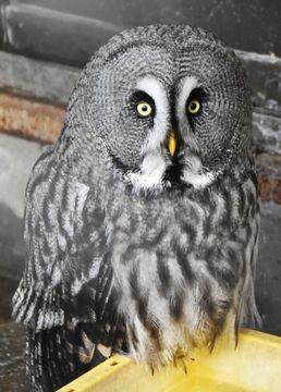 (455)パラボラアンテナのように音を集める顔 カラフトフクロウ