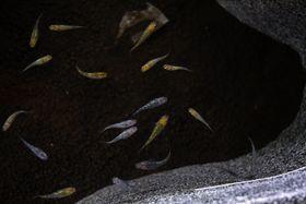 うろこがきらきらと光るメダカ「夜桜」(四万十市の四万十川学遊館)