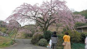七分咲きとなった名物のシダレザクラ。23、24日には「桜まつり」が開かれる=綾川町西分