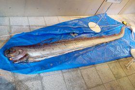 秋田県男鹿市の日本海沿岸に漂着した深海魚リュウグウノツカイ=8日(男鹿水族館GAO提供)