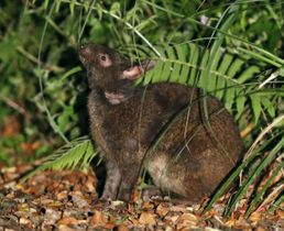 アマミノクロウサギ=鹿児島県・奄美大島