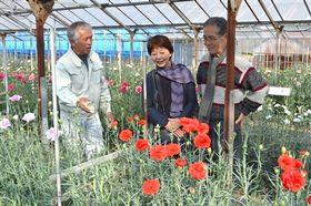 色鮮やかなカーネーションが開花した園内。新品種や試験品種を含む360種類を観賞できる=河津町のかわづカーネーション見本園
