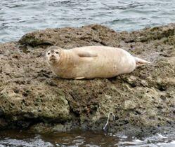 米代川の岩の上に寝そべる体長約70センチのアザラシ=17日午後、秋田県能代市