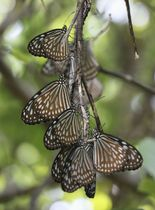 海沿いの林の中で集団越冬するリュウキュウアサギマダラ=21日、鹿児島県・奄美大島