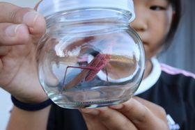 本山さんが発見したピンク色のクビキリギス=西海市大瀬戸町