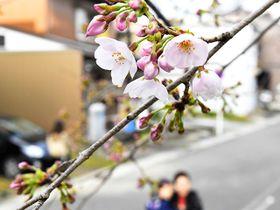 開花したソメイヨシノの標本木=22日午前8時52分、岐阜市加納天神町
