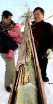 古い竹の内側で成長していた緑色の若い竹(撮影・河合佑樹)