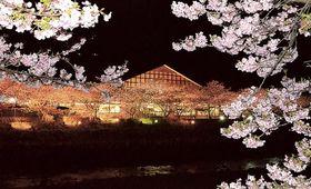 20日から始まった「河津桜まつり」のライトアップ。夜桜を観賞できる=河津町
