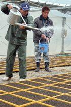 葉タバコの種が入った水をじょうろでまく農業者=五島市増田町