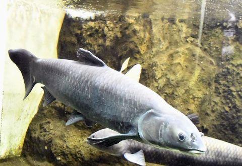 (580) 「四大家魚」のひとつ アオウオ