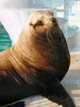 「南知多ビーチランド」で飼育されていた雄のトド「ケン」=2004年(同水族館提供)