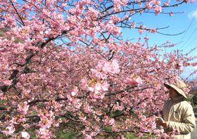濃いピンクの花を枝いっぱいに咲かせる河津桜