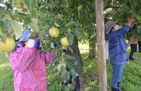 ほ場でリンゴの「葉摘み」を体験する健康応援隊のメンバー