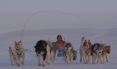 カナダ・レゾリュート沖の海氷上で犬ぞりを走らせる山崎哲秀さん(2013年2月)