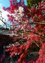 真っ赤な紅葉を背景に愛らしい花を咲かせた「寒桜」(11月20日午後2時15分、京都市左京区修学院・赤山禅院)