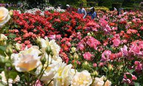 甘い香りを漂わせ、大輪の花を咲かせるバラ(京都市左京区・府立植物園)