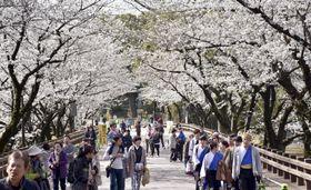 一般に部分開放された熊本城の桜の名所「行幸坂」=24日午前、熊本市