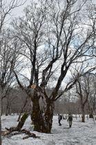 幹回り6.86メートルと国内最大級の巨木であることが確認されたブナ=8日、平川市切明津根川森の国有林内
