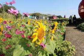イチゴとメロンの形のバス停そばで咲き誇るコスモスとヒマワリ=諫早市、フルーツバス停フラワーゾーン