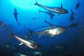 大西洋のクロマグロ(世界自然保護基金提供)