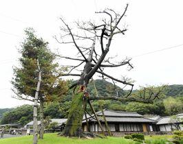 伐採が決まった仙巌園御殿前のヤクタネゴヨウ=鹿児島市の吉野町