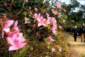 旗立て松展望台付近で開花しているミツバツツジ(京都府大山崎町・天王山)