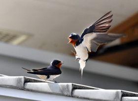 春の陽気に誘われ、元気に飛び交うツバメ=23日、陸前高田市横田町