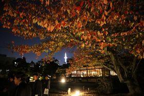 色づき始めたソメイヨシノの葉を照らし出す事前点灯(京都市下京区・渉成園)