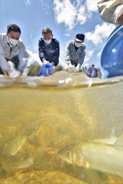 木戸川に放流されるアユの稚魚=27日、福島県楢葉町