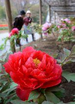 大輪の花を咲かせる色とりどりのボタン