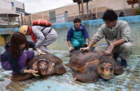 アカウミガメの甲羅についた水あかを落とす職員ら=美波町日和佐浦の日和佐うみがめ博物館カレッタ
