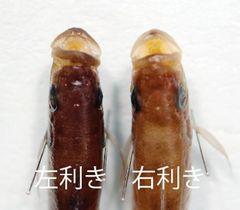 口が右に曲がっている左利きと口が左に曲がっている右利きのペリソダス・ミクロレピス(竹内勇一助教提供)
