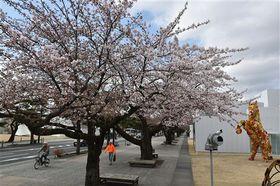 ソメイヨシノの開花が宣言された十和田市官庁街通り=19日午前、市現代美術館付近
