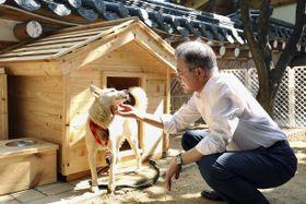 北朝鮮の金正恩朝鮮労働党委員長夫妻から贈られた豊山犬をなでる韓国の文在寅大統領(韓国大統領府提供・共同)